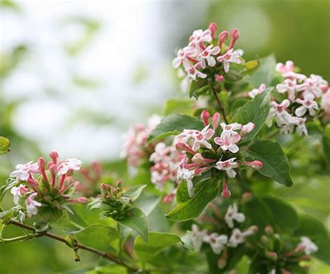flowering shrubs for new 1000 images about shrub on trees and shrubs