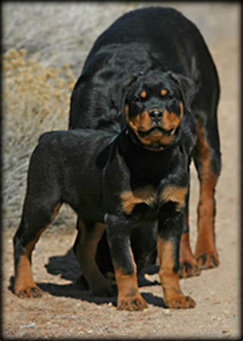 rottweiler puppies in arkansas german rottweiler breeders arkansas photo