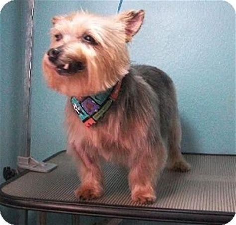 silky terrier haircuts silky terrier haircut puppies pinterest