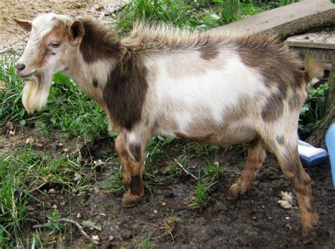here comes the buck moon usatodaycom registered nigerian dwarf goats bucks