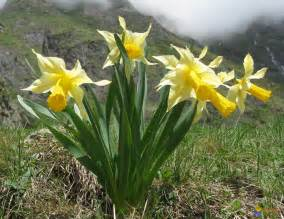 photo jonquilles sauvages