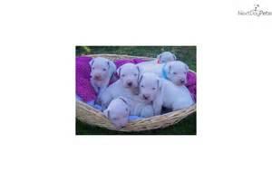 dogo argentino puppies for sale near me argentine dogo puppy for sale near san diego california e2e0d23e 8341