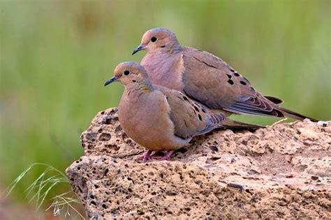 1000 images about alpine utah birds on pinterest quails