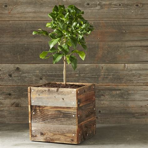 Lemon Tree Planter genoa italian lemon citrus tree williams sonoma