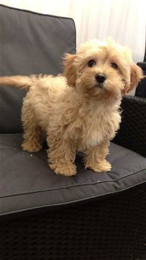 cocker spaniel poodle lifespan i must this cavapoo a mix between a king charles