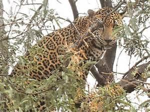 Mountain Jaguar Az Mountain Hunt Turns Into Dangerous Jaguar Encounter