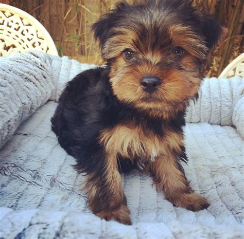 yorkie breeders los angeles view ad terrier puppy for sale california los angeles