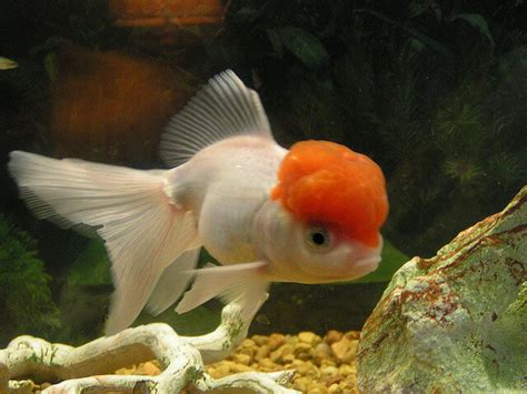 caring breeds image gallery different goldfish