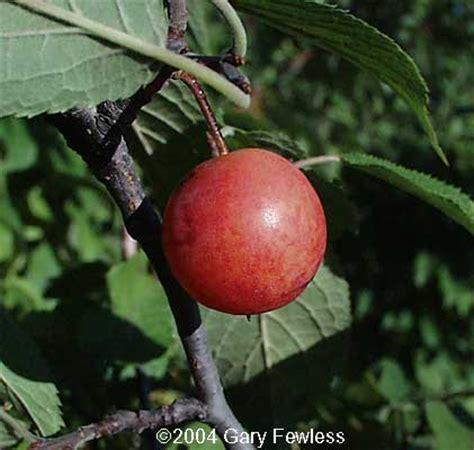 fruit trees wisconsin trees of wisconsin prunus americana plum