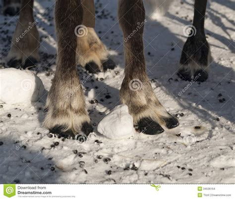 printable reindeer legs reindeer s legs stock photo image of reindeer ungulate