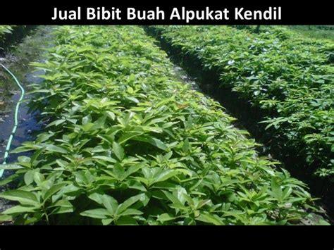Jual Bibit Alpukat Bogor bibit alpukat unggulan hub 0813 2872 0280