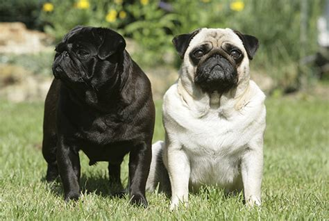 pug facts 10 awesome facts about pugs the pug diary