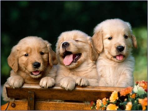 golden retriever freedom freedom golden retriever puppies colorado 3 humble in a pictures submit to