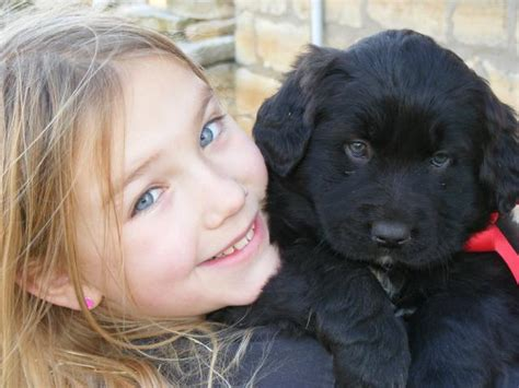 great pyrenees black lab puppy 1 puppy left great pyrenees chesapeake chocolate lab mix