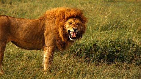 Of Lions facts 20 interesting facts about lions