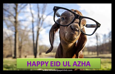 funny bakra eid eid  qurban wallpapers  pictures