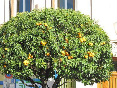 citrus smelling tree file orange tree in carnoles jpg wikimedia commons