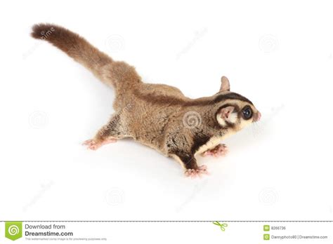 Sugar Glider Series sugar glider on white royalty free stock image image 8266736