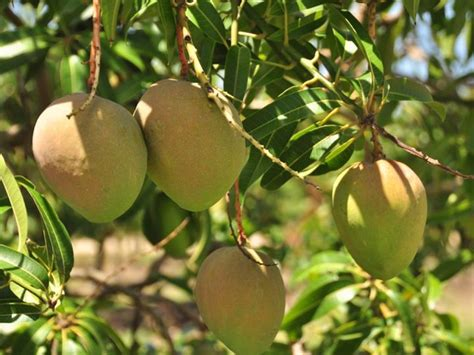 weight 65 kensington fir tree home of the honey gold mango jim pola digital marketing