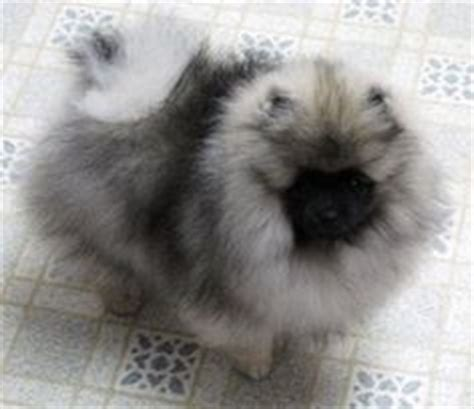 wolf colored pomeranian 1000 images about i pomeranians on pomeranians black pomeranian and