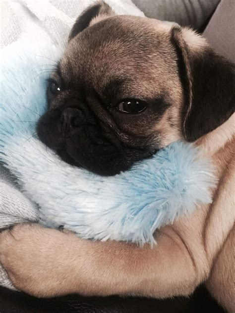 5 month pug beautiful 5 month pug evesham worcestershire pets4homes