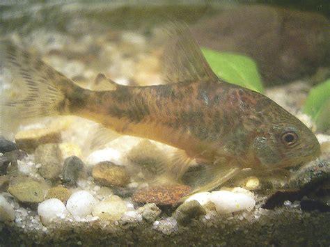 Bottom Feeder Fish Names corydoras paleatus