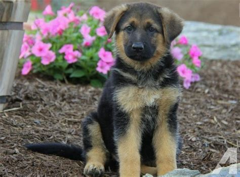 real german shepherd puppies for sale german shepherd puppies for sale for sale in iowa louisiana classified