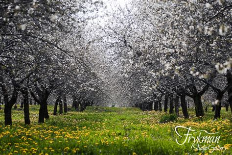 Cherry Orchards In Door County Wi by Frykman Studio Gallery Door County Wisconsin