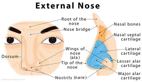 diagram of nose nose definition anatomy functions diagram