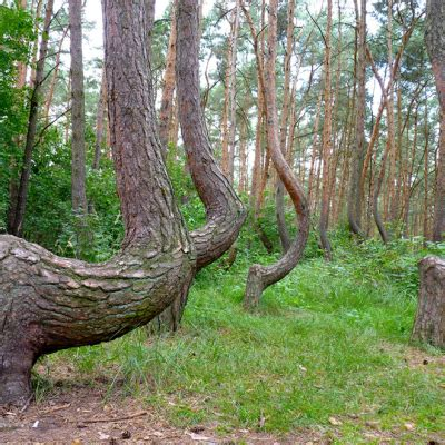 crooked forest west pomerania poland mother nature at poland s forgotten crooked forest what were they going to