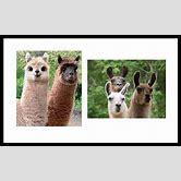 alpaca-vs-llama-difference