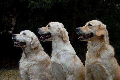 lymphoma in golden retrievers 24ze fondi a ricercatori che studiano il linfoma dei cani colpisce boxer