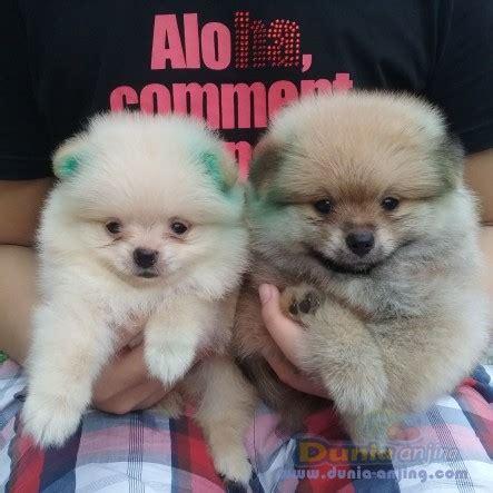 Jual Jual Puppies Minipom Kaskus dunia anjing jual anjing pomeranian dijual minipom puppies
