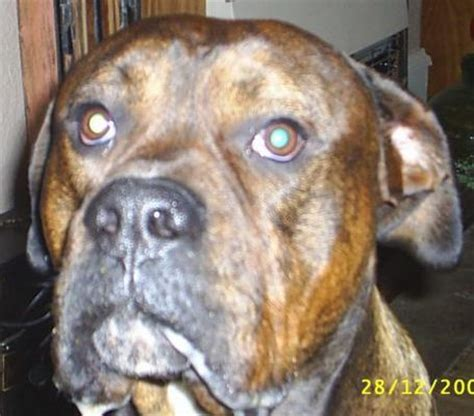 american bulldog rottweiler boxer mix click to view size image