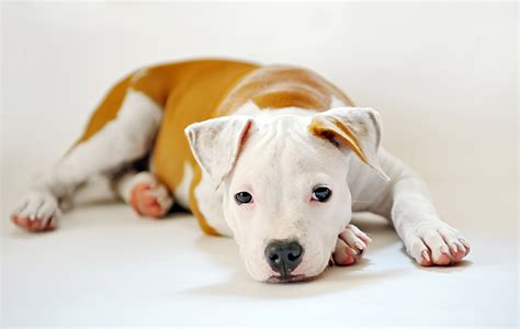 pitbull puppy names 70 pitbull names you ll my s name