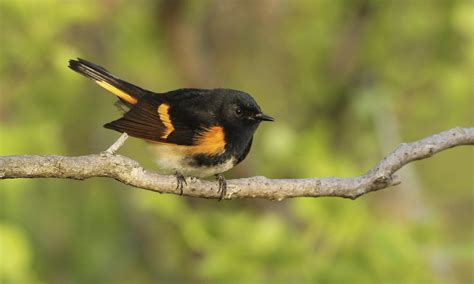 american redstart birds of north america online