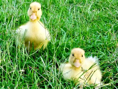 raising ducks in backyard raising ducks how to care for ducklings hgtv