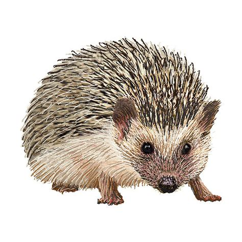 Hedgehog Clipart hedgehog clipart graphics free clip liked on polyvore