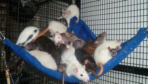 Hamac Pour Rat by Hamac Pour Rat Furet Chinchilla Cobaye Octodon Accessoire