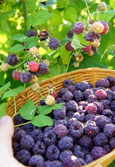 Bibit Buah Raspberry 25 best ideas about growing raspberries on