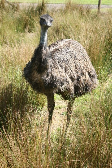Bluish Grey by Emu Australian Museum