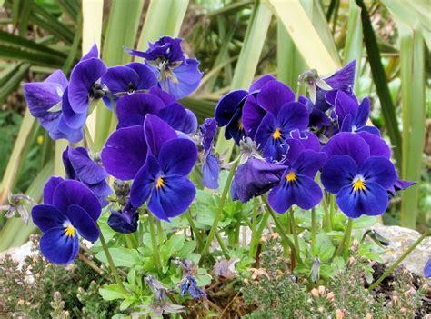 imagenes de flores llamadas violetas violetas