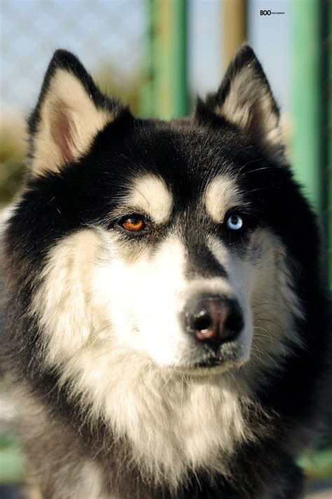 how to your husky to be a guard siberian husky my boys siberian huskies and husky
