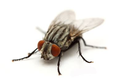 house flies learn more about house flies including how to get rid of flies