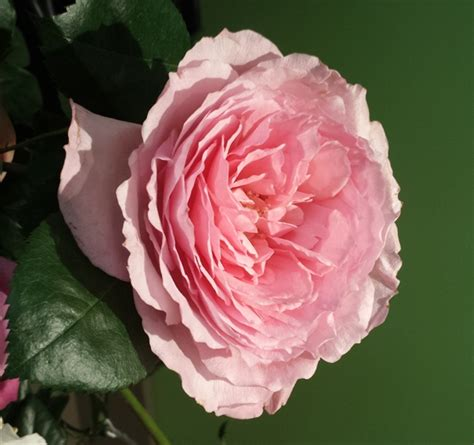 mayra flower mayra s garden roses flowers by category