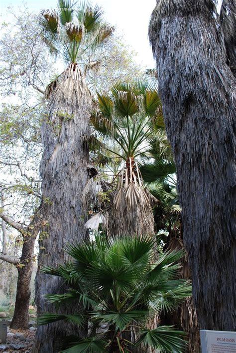Southern Botanical Gardens by Plantfiles Pictures California Fan Palm Washingtonia