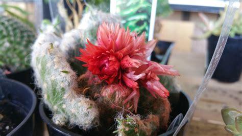 pianta grassa con fiore rosso succulente con il fiore rosso immagine gratis