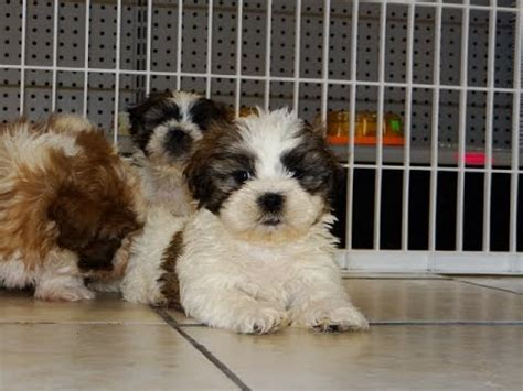 puppies for sale in tupelo ms shih tzu puppy funnydog tv