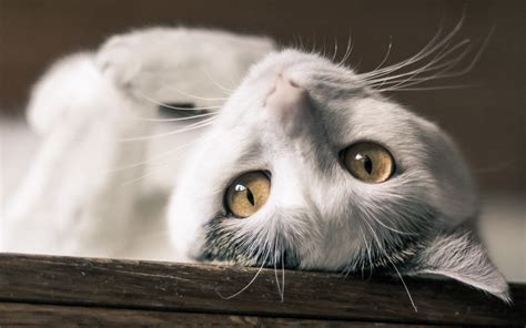 white cat wallpaper gallery