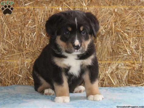 rottweiler bernese mix 56 best images about rottweilers on rottweiler mix puppys and pit bull